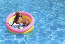Swimming - Dacshund