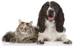 English Cocker Spaniel dog and cat lie together. looking at came